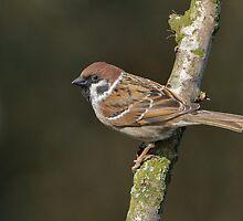 Tree sparrow - I ( Passer montanus) by Peter Wiggerman