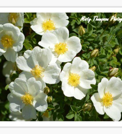 White Wild Roses  Sticker