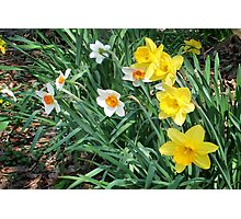 Mixed Daffodils Photographic Print