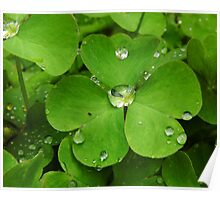 Drops On The Shamrock Leaves Poster