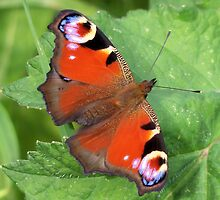 Beautiful Peacock Butterfly by hootonles
