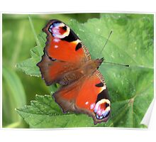 Beautiful Peacock Butterfly Poster