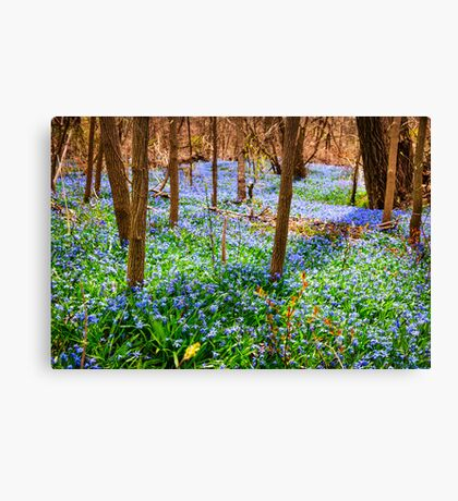 Spring meadow with blue flowers glory-of-the-snow Canvas Print