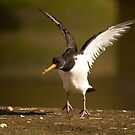 Oystercatcher by Jon Lees