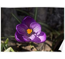 The First Crocus Celebrating Spring Poster