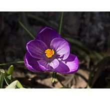 The First Crocus Celebrating Spring Photographic Print