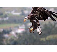 Immature Bald Eagle Landing Photographic Print