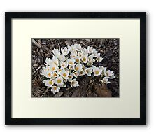Springtime Abundance - a Bouquet of Pure White Crocuses Framed Print