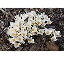 Springtime Abundance - a Bouquet of Pure White Crocuses Photographic Print