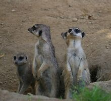 Cute Meerkat Family saying Hello by stine1