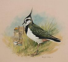 Lapwing at Blakeney, Norfolk by briancday