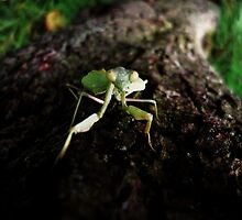 Stagmomantis limbata - September by Alexander589