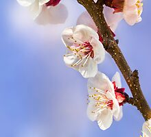 Apricot Flowers by Marc Garrido Clotet