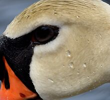 Swan Face by mhoag