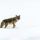 Coyote in snow by Linda Sparks