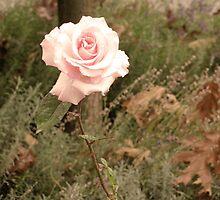 Autumn Rose by abbywerschler
