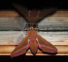Nature macro: Elephant Moth  by HelenVidler
