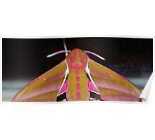 Nature macro: Elephant Moth  Poster