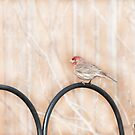Male House Finch by KathleenRinker