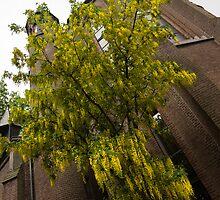 Beautiful Golden Chain Tree in Full Bloom by Georgia Mizuleva