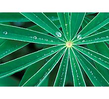 Lupine Leaves Photographic Print