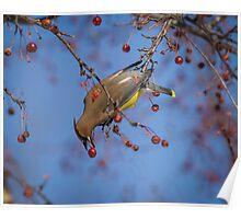 Cedar Waxwing Eating Berries 10 Poster