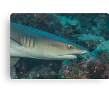 White-tipped Reef Shark Canvas Print