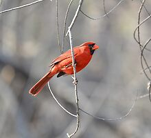 Cardinal male by Kate Farkas