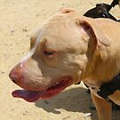 Perfect Pit in Profile by Vicki Childs