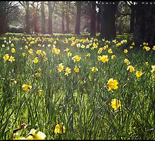 Glowing Daffodils by JamieYoungPhoto