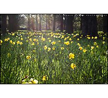 Glowing Daffodils Photographic Print