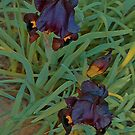 Irises In Feb by Nira Dabush
