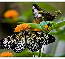 Paper Kite Butterfly by Karosh