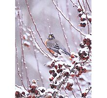 American Robin In Winter Photographic Print
