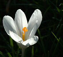 Crocus by Chris Day