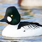 Goldeneye - Bucephala Clangula by Lauren Tucker