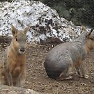 Patagonian Cavy, Central Park Zoo, New York City by lenspiro