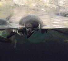 Swimming Penguins, Central Park Zoo, New York City by lenspiro