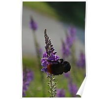 Red Tailed Bumble Bee on a Flower Poster