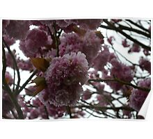 Beautiful Pink Cherry Blossom Poster