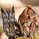 Two Screech Owls by Jeff Ore