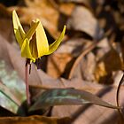 Trout Lily by Otto Danby II