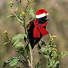 It's a Red-Winged Holiday by CarolM