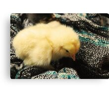 Cute little yellow chicken Canvas Print