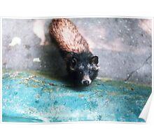 Cute raccoon dog Poster