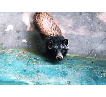 Cute raccoon dog Photographic Print