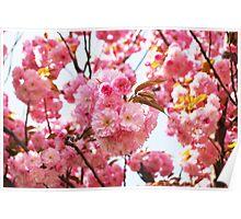 Cherry tree blossom Poster