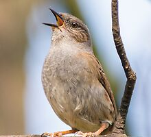 Singing Dunnock by lmaiphotography