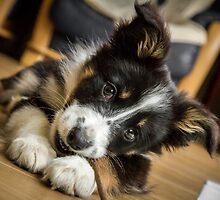 Border Collie Puppy - Chew Stick by Paul Bird