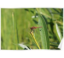 Red Dragonfly on a Plant Poster